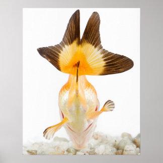 Goldfish (Carassius auratus) 2 Posters