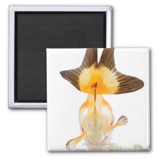 Goldfish (Carassius auratus) 2 Square Magnet