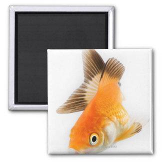 Goldfish (Carassius auratus) Square Magnet
