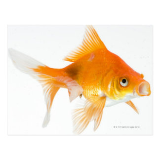 Goldfish on white background postcard