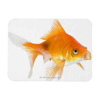 Goldfish on white background rectangular photo magnet