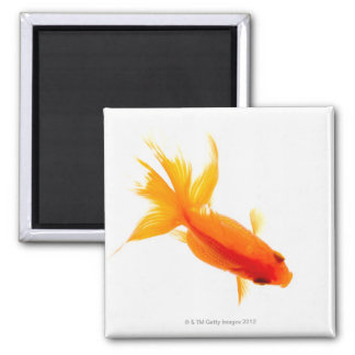 Goldfish, overhead view square magnet