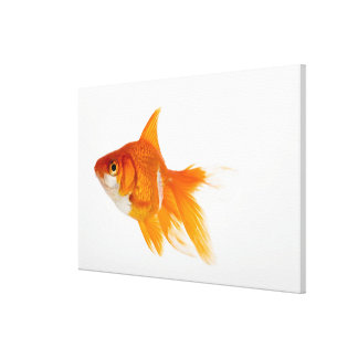 Goldfish, side view canvas print