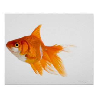 Goldfish, side view poster