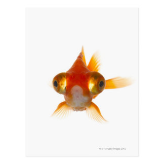 Goldfish with Big eyes 2 Postcard