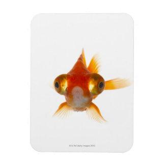 Goldfish with Big eyes 2 Rectangular Photo Magnet