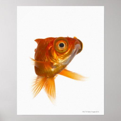 Goldfish with Big eyes 3 Poster