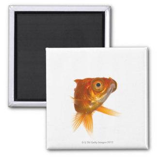 Goldfish with Big eyes 3 Square Magnet