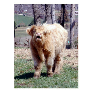 Good Moooooooorning Highland Bull Postcard