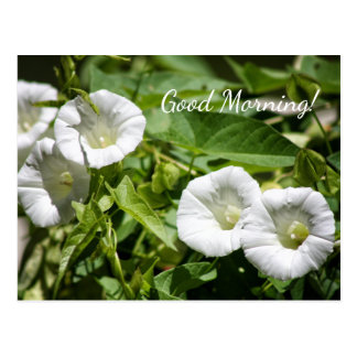 Good Morning! Floral White Morning Glory Glories Postcard