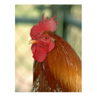 good morning rooster postcard