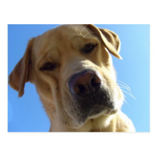 Goofy Labrador portrait Postcard