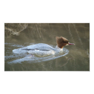 Goosander Swimming Photo Print