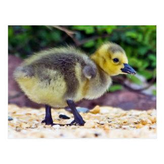 Goose Chick Postcard