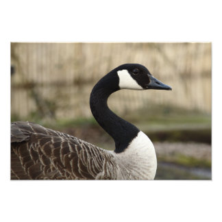 Goose Curves Photo Print