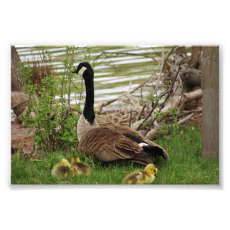 Goose Mom and Babies Photo