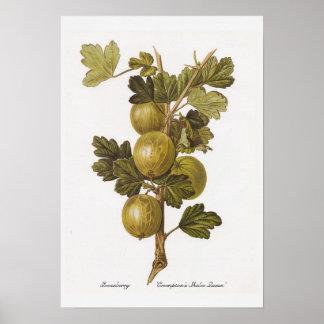Gooseberry 'Crompton's Sheba Queen' Poster