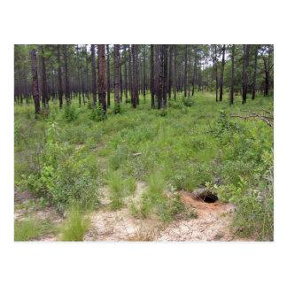 Gopher tortoise burrow and habitat (Gopherus polyp Post Cards