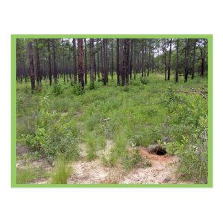 Gopher tortoise burrow and habitat (Gopherus polyp Post Card