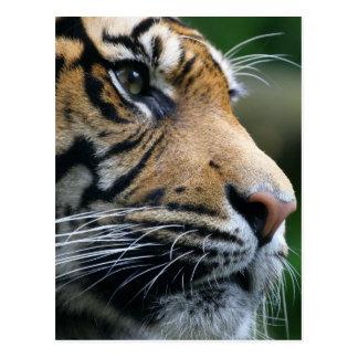 Gorgeous Bengal Tiger Face Postcard