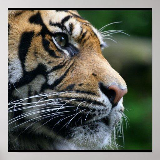 Gorgeous Bengal Tiger Face Poster