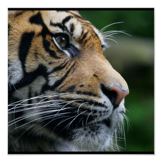 Gorgeous Bengal Tiger Face Poster