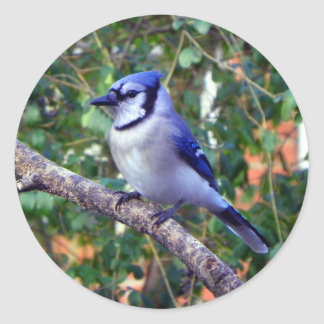Gorgeous Blue Jay Classic Round Sticker