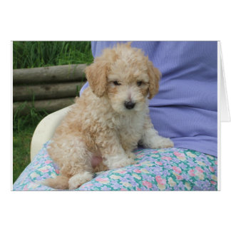 Gorgeous cavapoo puppy looking your way, isolated card