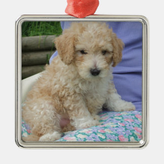 Gorgeous cavapoo puppy looking your way, isolated Silver-Colored square decoration