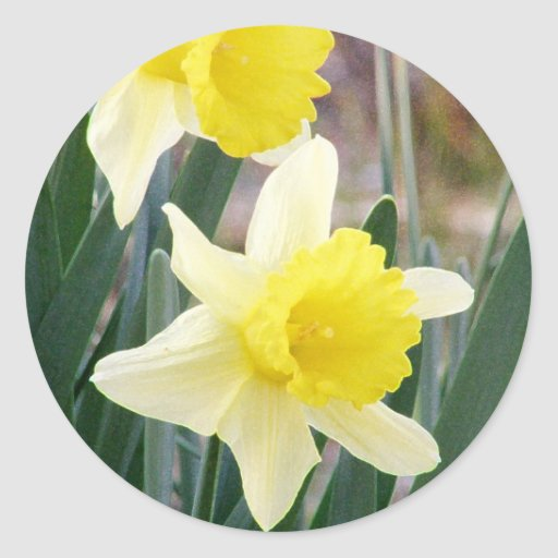Gorgeous Daffodils Round Stickers