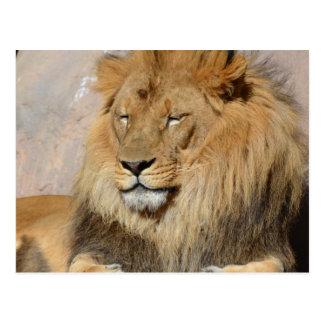 Gorgeous Lion Postcard