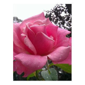 Gorgeous pink rose flower in bloom! postcard
