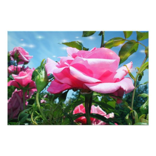 Gorgeous pink rose in blue sky. Floral photography Photograph