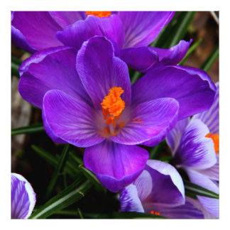 Gorgeous Purple Tulip Flowers Photo Art