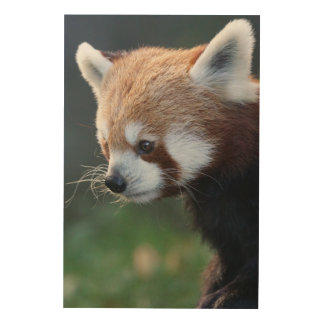 Gorgeous red panda portrait wood canvases