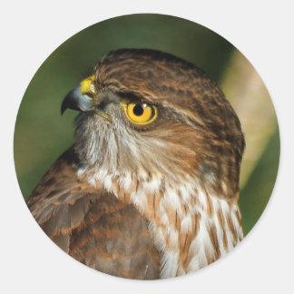 Gorgeous Sharp-Shinned Hawk Comes A-Callin' Round Sticker