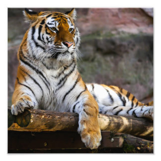 Gorgeous tiger lying down art photo