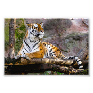 Gorgeous tiger lying down photo print