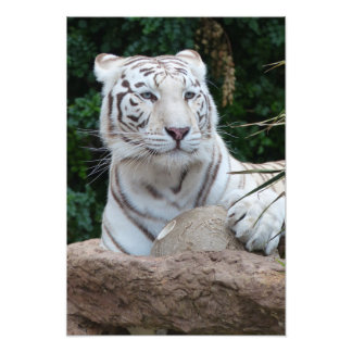 Gorgeous white bengal tiger photo print