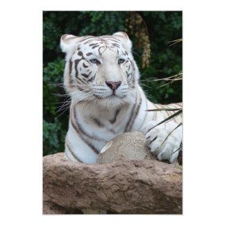 Gorgeous white bengal tiger photographic print