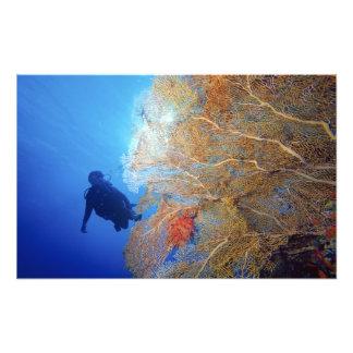 Gorgonian sea fan, Subergorgia mollis, with Photo Print