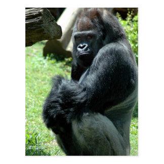 Gorilla Glare Postcard