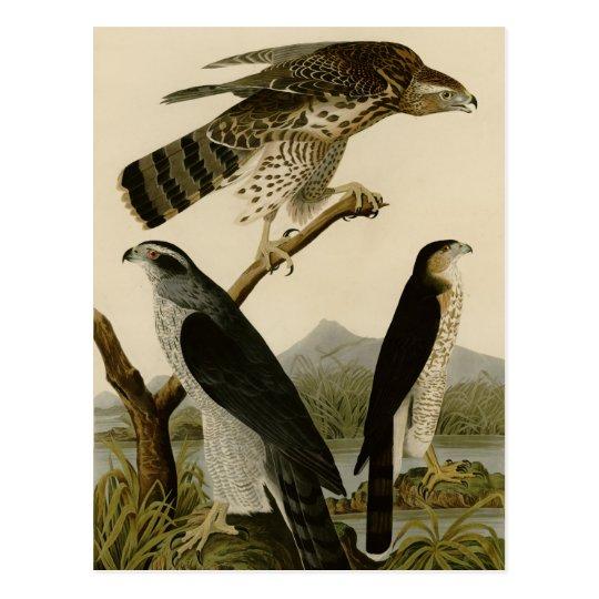Goshawk & Stanley Hawk Postcard