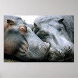 Gossip Hippopotamus Portrait Posters