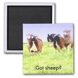 Got sheep? Border Collie magnet