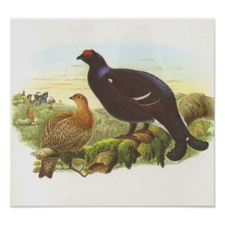 Gould - Black Grouse - Lyrurus tetrix Poster