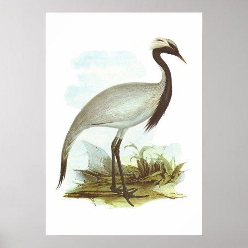 Gould - Demoiselle Crane - Anthropoides virgo Print