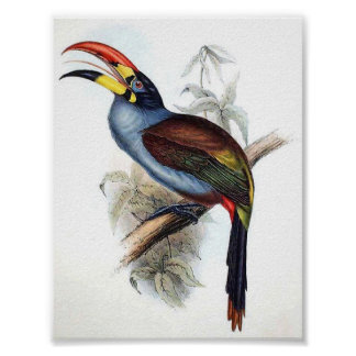 Gould - Grey-Breasted Aracari Toucan Portfolio Poster