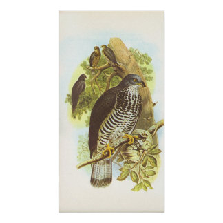 Gould - Honey Buzzard - Pernis apivorus Poster