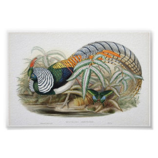 Gould - Lady Amherst's Pheasant Portfolio Poster
